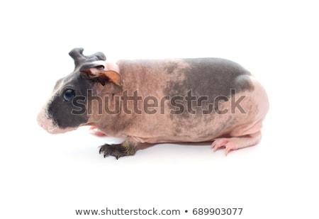çok · güzel · siyah · kobay · beyaz · yüz · domuz - stok fotoğraf © joannawnuk