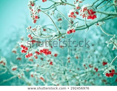 Rojo congelado invierno estacional bayas Foto stock © romvo