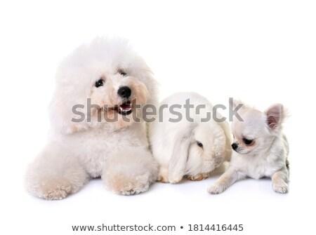 bichon frise, chihuahua and bunny Stock photo © cynoclub