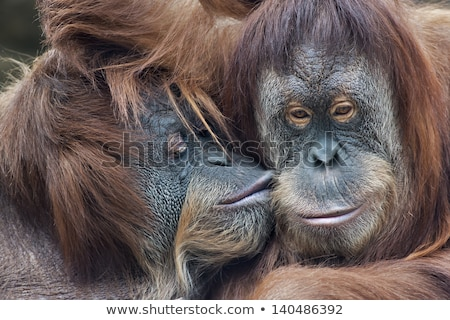 I love orangutan Stock photo © colematt