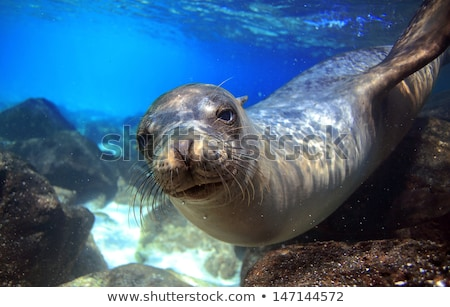 galapagos sea lion in swimming in ocean on galapagos islands stock photo © maridav