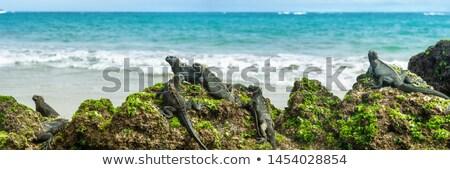 Galapagos islands marine iguanas wildlife relaxing on beach banner panorama of ocean background in I Stock photo © Maridav