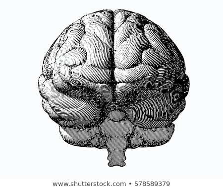 Anatomical Organ Human Brain Monochrome Vector Stock photo © pikepicture