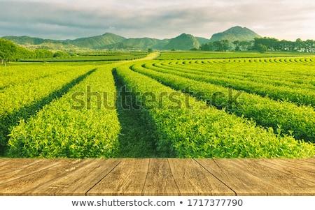 chá · verde · campos · luxuriante · Monte · Fuji · paisagem · neve - foto stock © craig