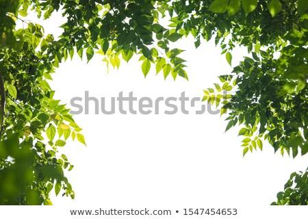 Fa keret levelek gyökerek kert nyár Stock fotó © ensiferrum