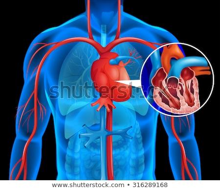 cardiocirculatory system Stock photo © adrenalina