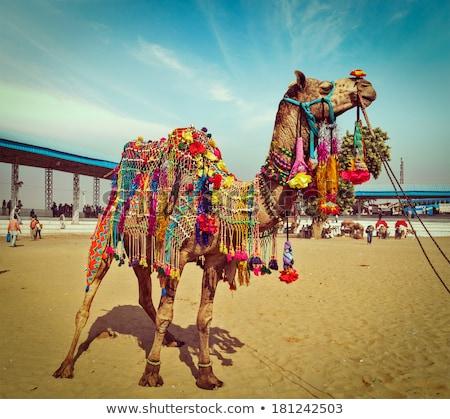 Camellos camello justo India panorámica imagen Foto stock © dmitry_rukhlenko