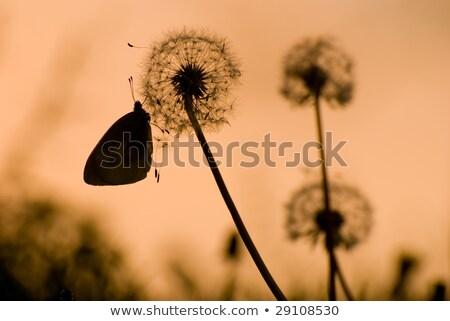 gaz · este · természet · virág · fű · naplemente - stock fotó © ansonstock