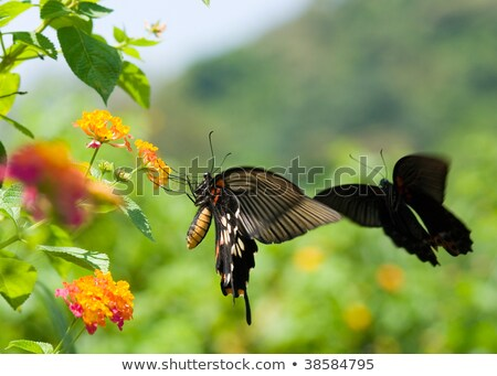 Swallowtail butterfly flying and dancing before  Stock photo © Ansonstock