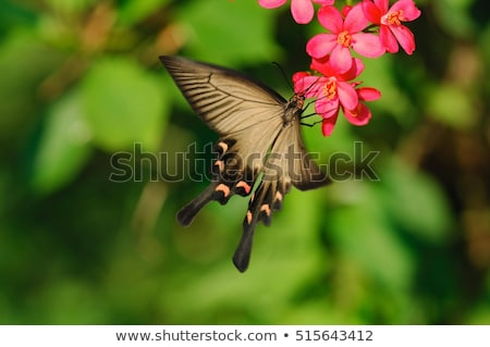 Chinese Windmill Butterfly, Atrophaneura alcinous Stock photo © Qingwa