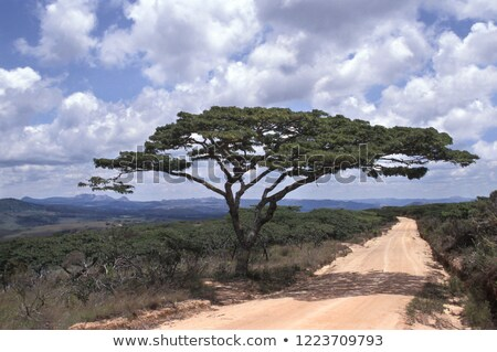 savannah scenery with Umbrella Acacia and road Stock photo © prill