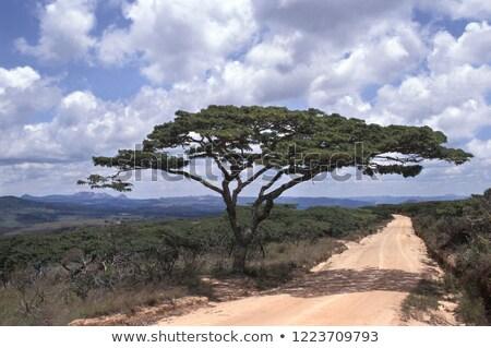 savannah scenery with Umbrella Acacia and road stock photo © prill
