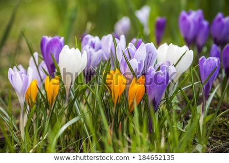 açafrão · primavera · jardim · planta · rosa · prado - foto stock © brebca