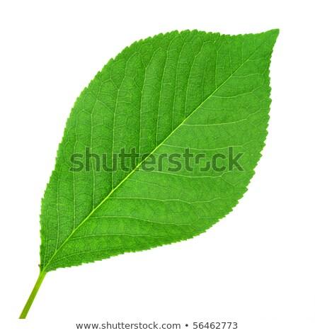 One green leaf of cherry-tree Stock photo © boroda