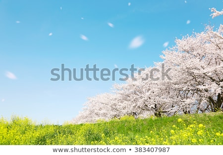 Stock photo: Full bloomed cherry blossoms and blue sky