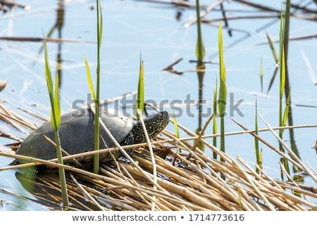 изолированный · европейский · пруд · черепахи · белый · мнение - Сток-фото © franky242
