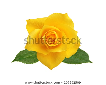 Single red and yellow rose Stock photo © sumners