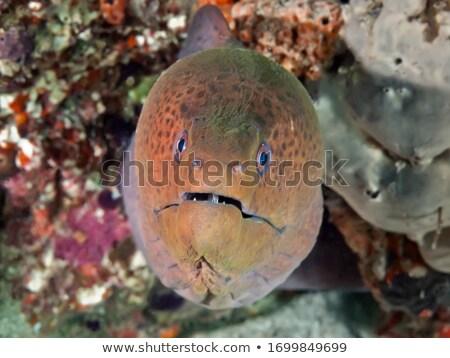 big brown moray close-up Stock photo © Mikko