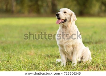 Golden retriever hond zijaanzicht spelen speelgoed geïsoleerd Stockfoto © eriklam