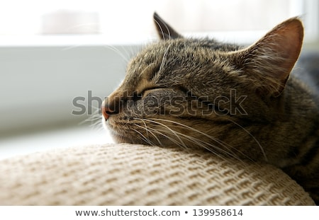 Cute tabby cat at home - laying on sofa and relaxing stock photo © HASLOO