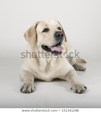 Jaune labrador retriever sépia cute chien heureux Photo stock © silense