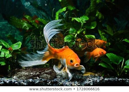 Goldfish longtemps queue ensemble blanche poissons Photo stock © tiero