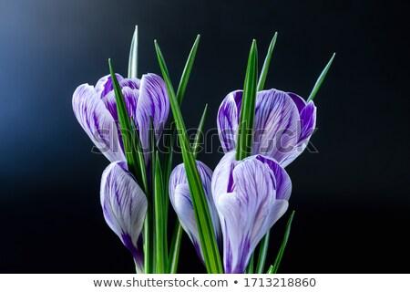 Geel · lentebloemen · macro · geïsoleerd · witte · Pasen - stockfoto © peredniankina