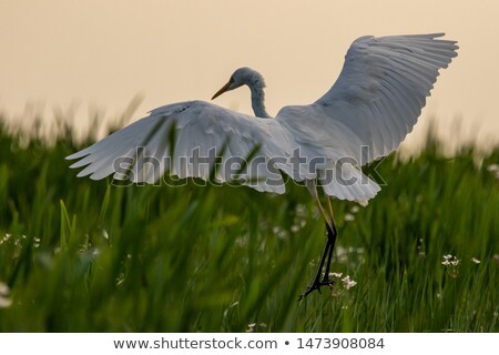 белый · цапля · куриного · сидят · гнезда · ребенка - Сток-фото © saddako2