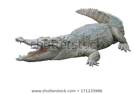 крокодила · изолированный · белый · ребенка · животные - Сток-фото © anan