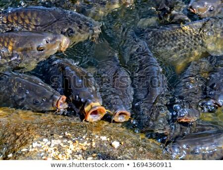 Avrupa sazan balık beyaz deniz arka plan Stok fotoğraf © bazilfoto