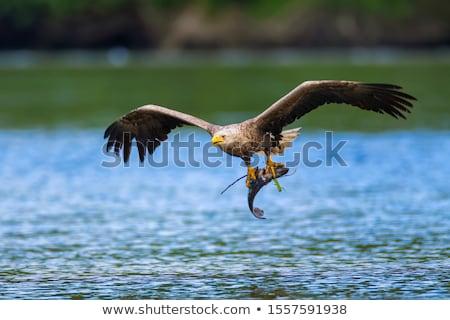 Fish Eagle Portrait Stock photo © fouroaks