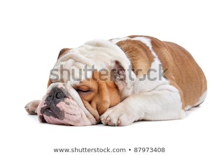 Dormire bulldog design silhouette cucciolo sketch Foto d'archivio © tiKkraf69