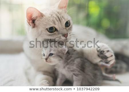 ママ · 子猫 · 猫 · 動物 · 再生 · 安全 - ストックフォト © nneirda