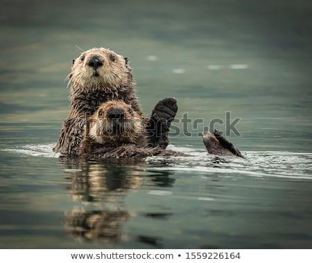 Wild water otter Stock photo © Dermot68