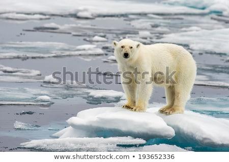 Sarki jég medve nagyszerű fehér állat Stock fotó © Klinker