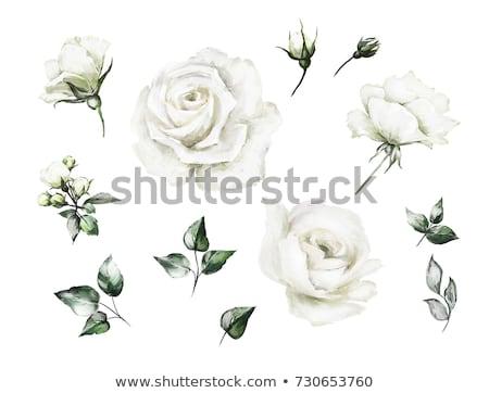 Stock fotó: Fehér · rózsák · vízfesték · virágok · esküvő · rózsa