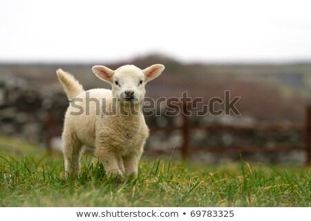 山 · 北方 · アイルランド · 緑 · 旅行 · 動物 - ストックフォト © morrbyte