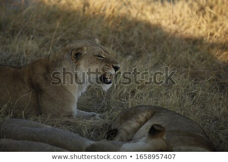 Lioness growling in the morning sun Stock photo © Klinker