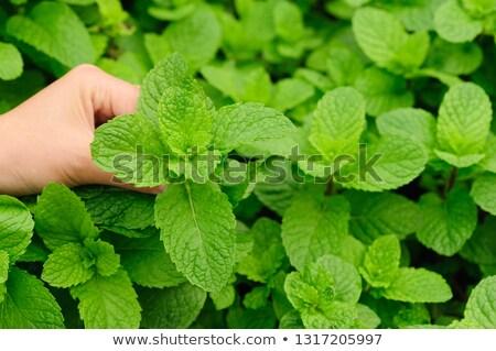 фермер мята листьев саду органический Сток-фото © stevanovicigor