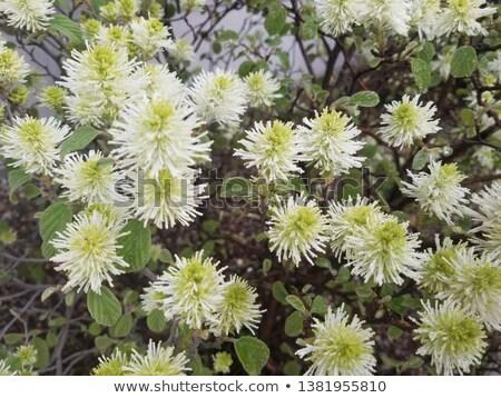 A yellowgreen flower Stock photo © bluering
