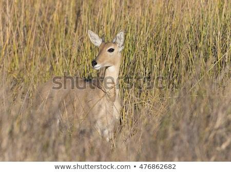 Cheetah eating from a Reedbuck carcass in the grass. Stock photo © simoneeman