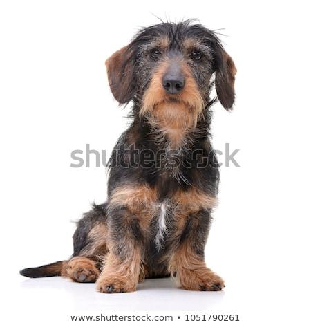 wired hair dachshund sitting in studio Stock photo © vauvau