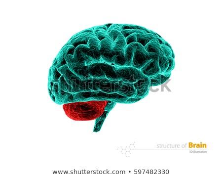 人間の脳 · 図面 · 画像 · 脳 · 黒 · 頭 - ストックフォト © tussik