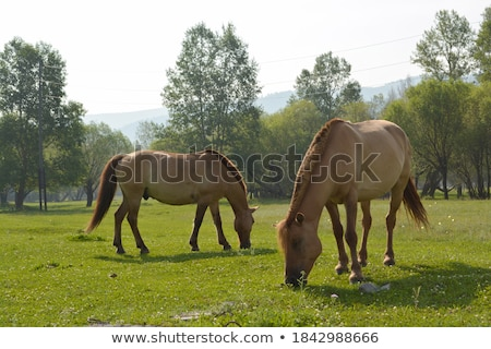 Steppe horses Stock photo © joyr