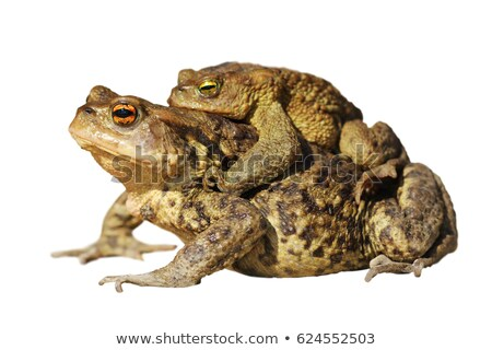 isolated common toads mating Stock photo © taviphoto