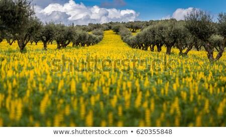 Chêne arbres printemps domaine herbe paysage Photo stock © inaquim