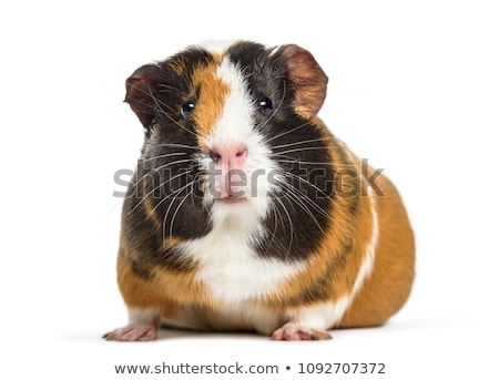 guinée · porc · blanche · studio · animal · cute · horizontal - photo stock © monkey_business