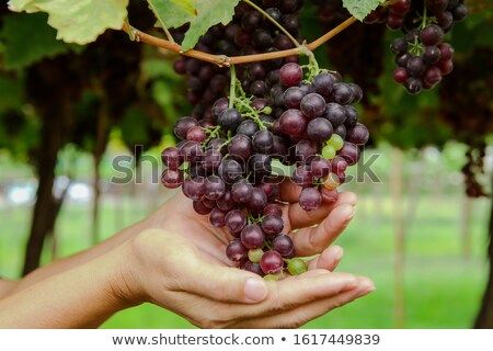 Pink grapes in farmer's hands Stock photo © Lana_M