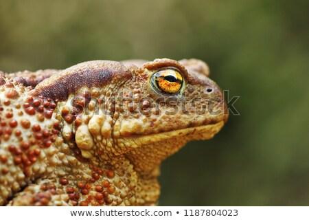 retrato · feio · marrom · sapo · olho · natureza - foto stock © taviphoto