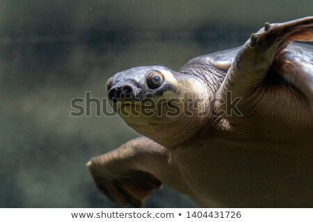 Pig-nosed turtle of New Guinea  Stock photo © bdspn
